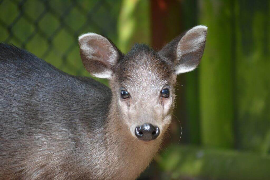 Michie's Tufted Deer