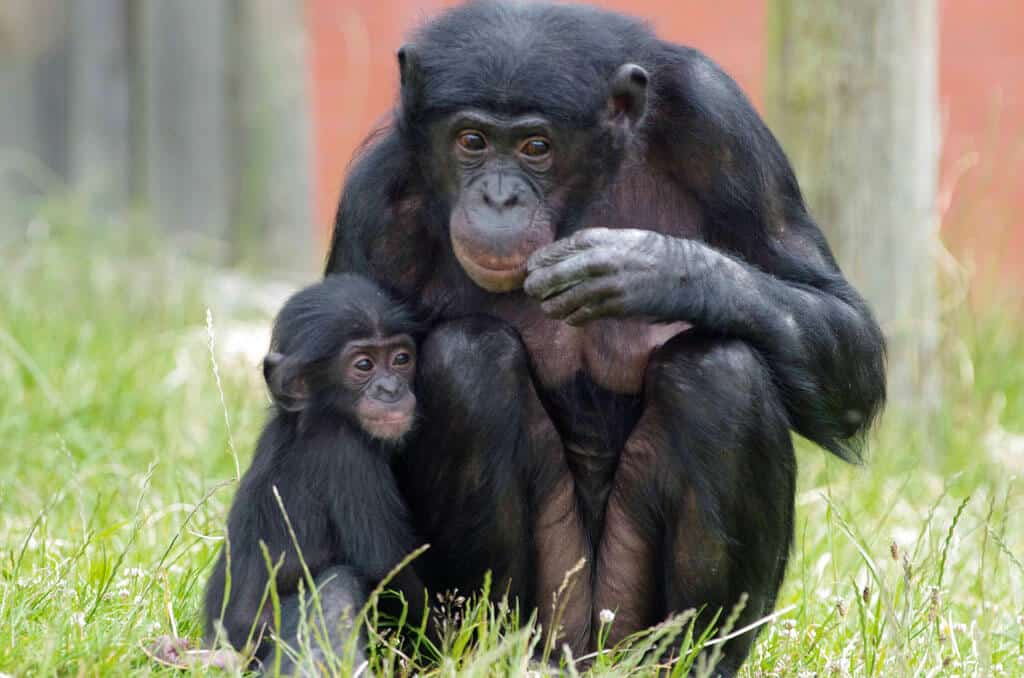 Bonobo Mom and Baby