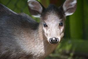 Michle's-Tufted-Deer