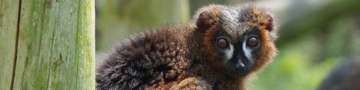 Red-Bellied Lemur banner