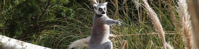 Ring-tailed lemur banner