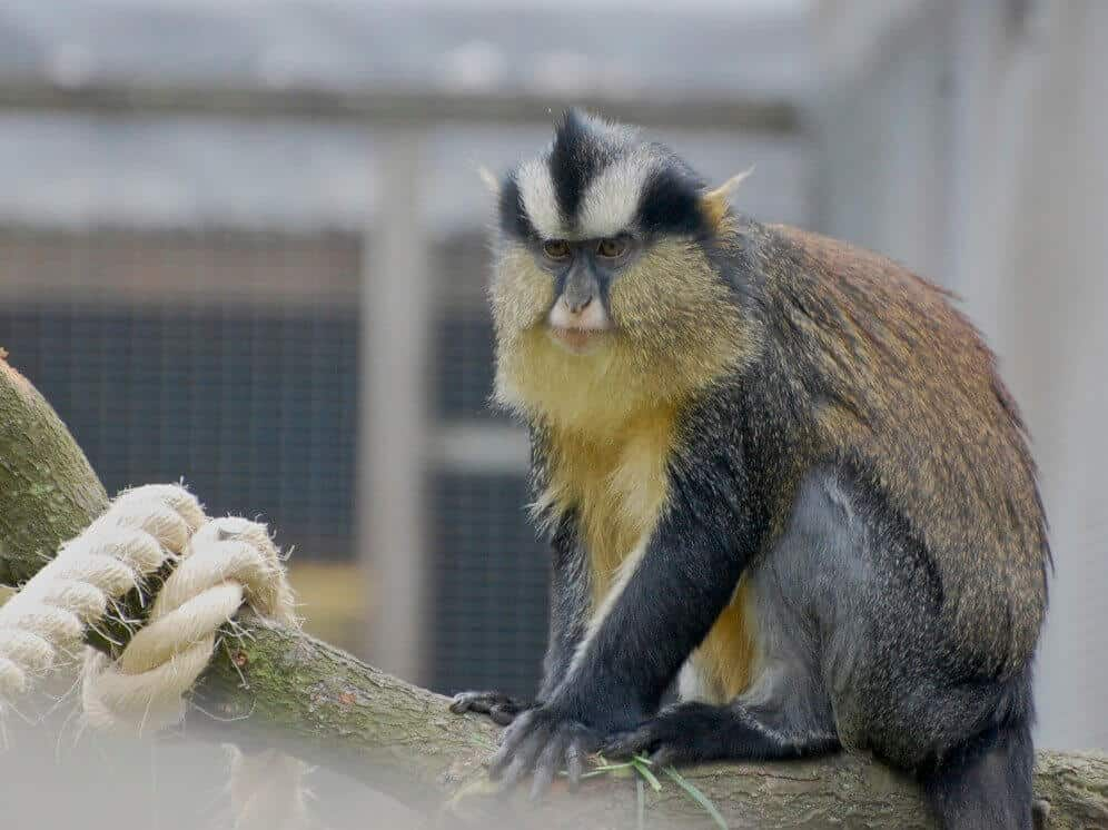 Crowned guenon