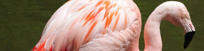Chilean flamingo banner