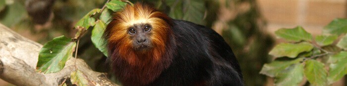 Golden-headed Lion Tamarin Banner