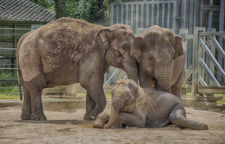 Elephant Profiles | Twycross Zoo
