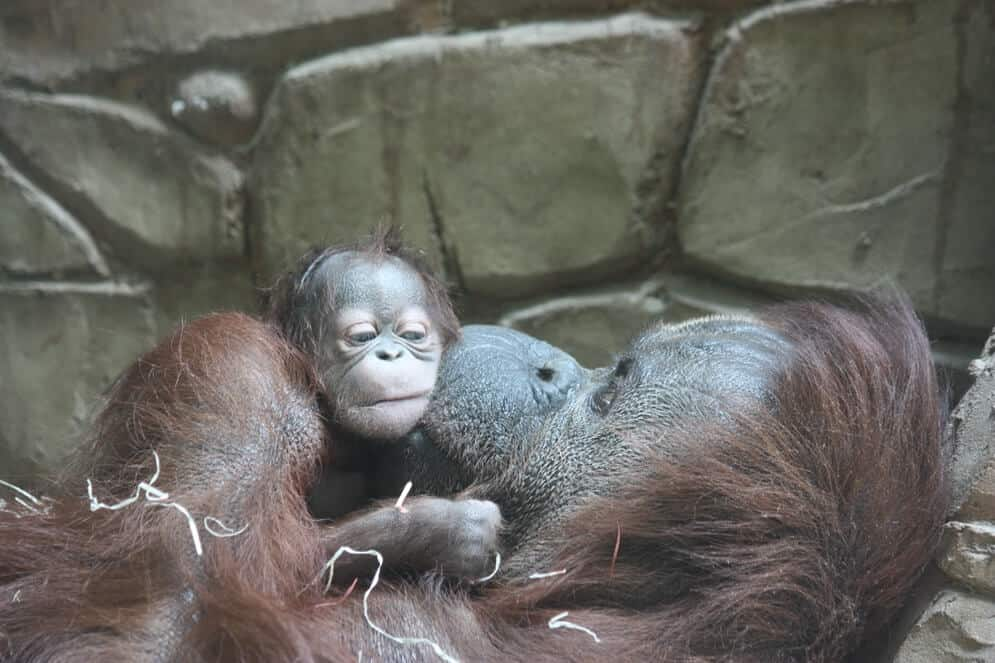 © Twycross Zoo – Kibra's Baby Orangutan born 16th June 2017 (1)