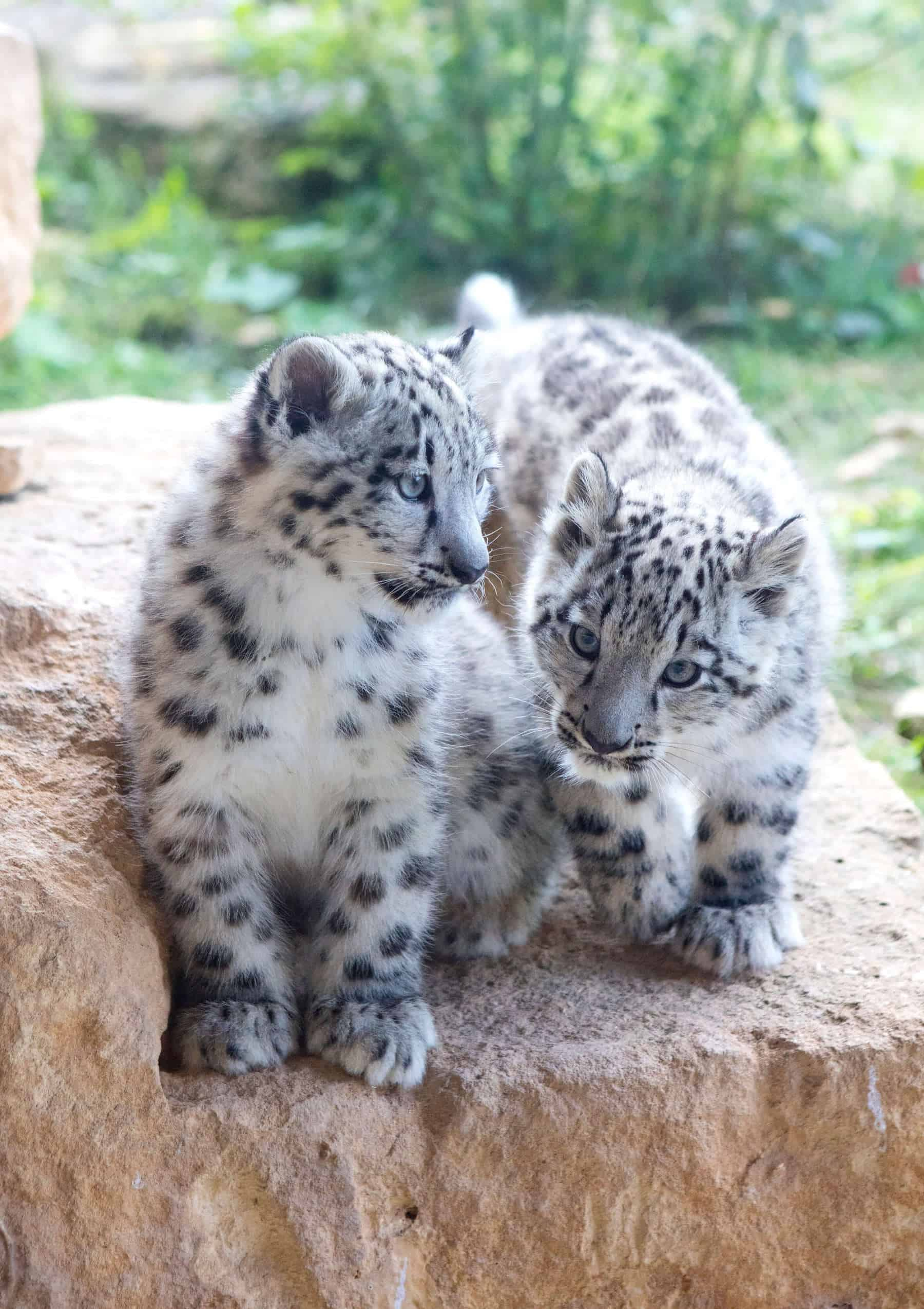 © Twycross Zoo – Snow Leopard Twins Born July 2017 (L. Ray) TZ (10)