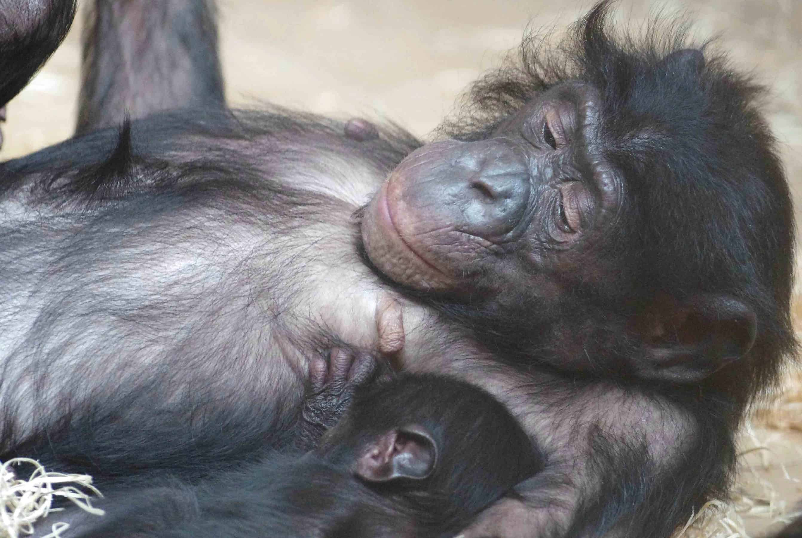 Gillian-Day-Bonobo-Mum-Baby-2-low-res