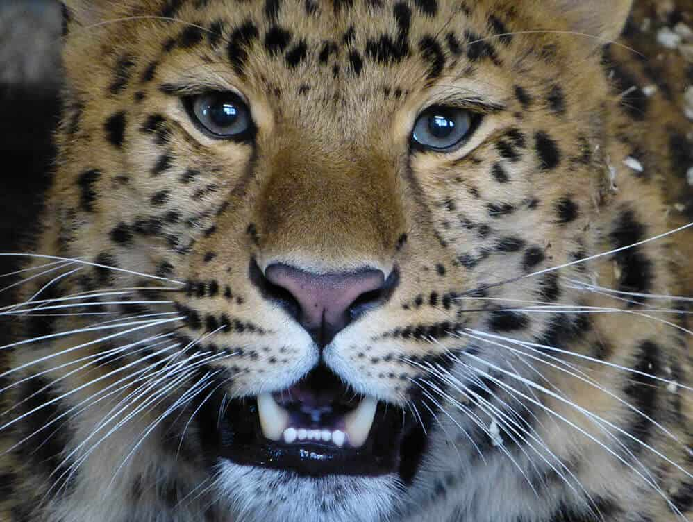 Kristen the Amur Leopard