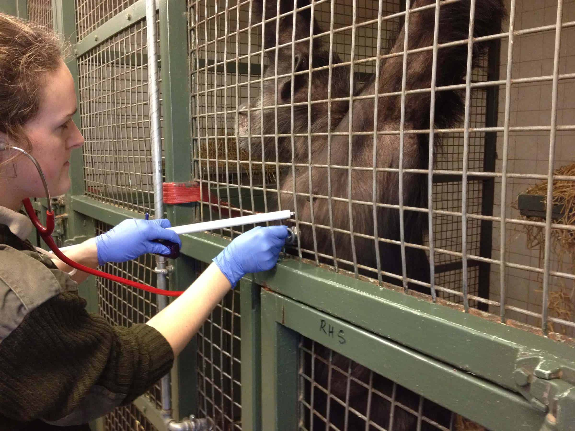 Twycross-Zoo-chimpanzee-Choppers-presents-her-chest-to-veterinary-staff-so-they-can-listen-to-her-heart_credit-Twycross-Zoo