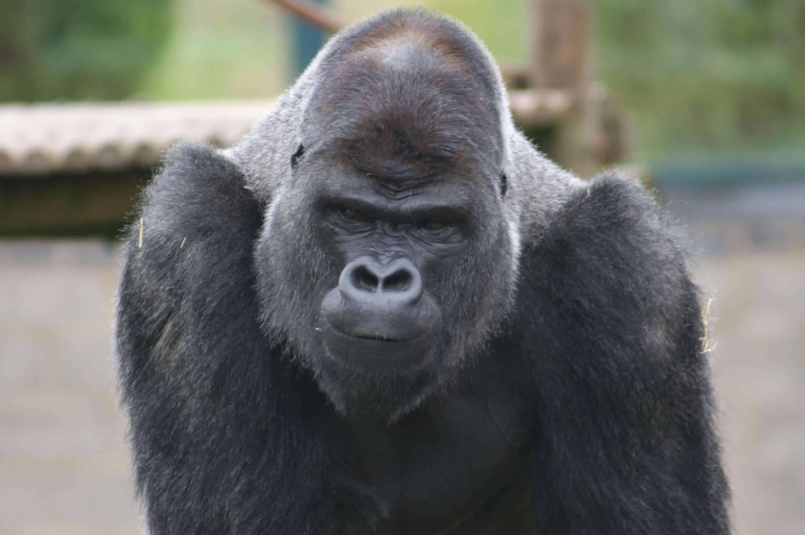 OUMBI Gorilla Chris Simpson (3)