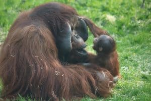 orang utan dad with toddler infant