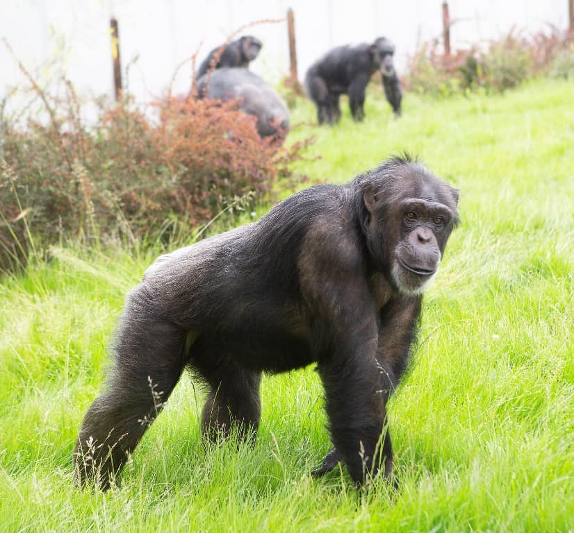 See Chimpanzees this Mother's Day at Twycross Zoo