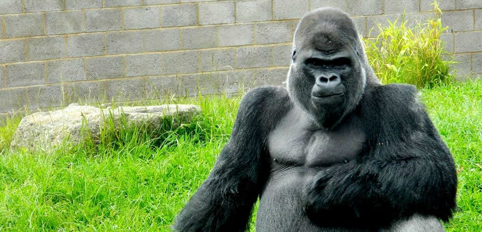 Twycross Zoo Heads To Cameroon To Support Ape Action Africa
