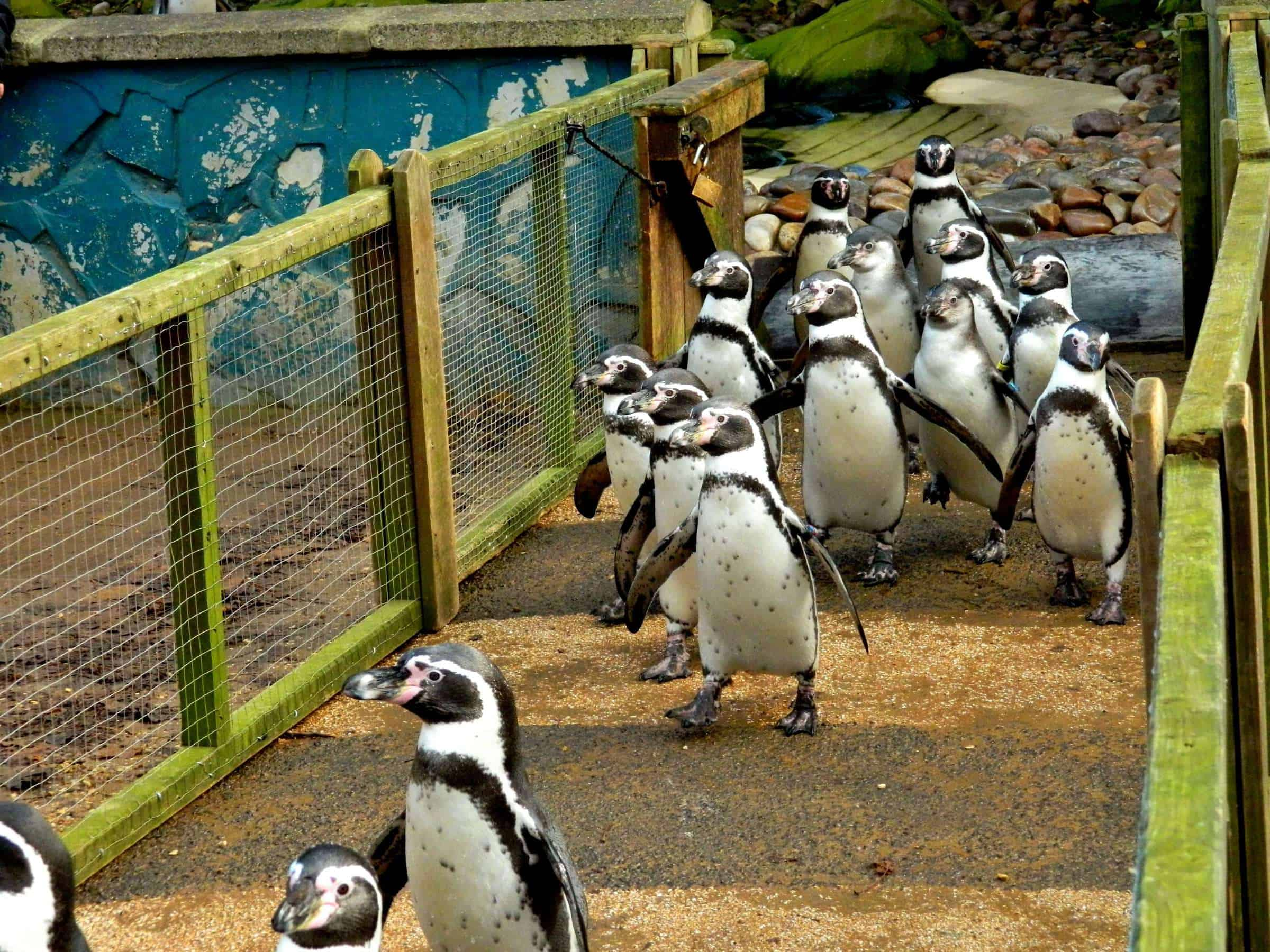 Penguin encounters at Twycross Zoo