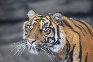 See Sumatran tigers this Mother's Day at Twycross Zoo