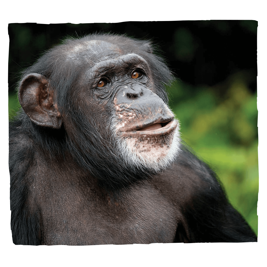 donations_chimp
